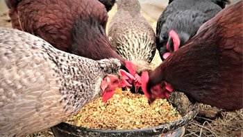 Permalink to: Poultry Feed