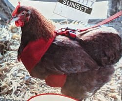 chicken-harness-@-sunset-feed-miami