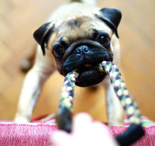 pug pulling a rope